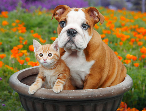 DOK 01 BK0154 01 © Kimball Stock English Bulldog Puppy And Orange Kitten Sitting In Flower Pot By Poppies