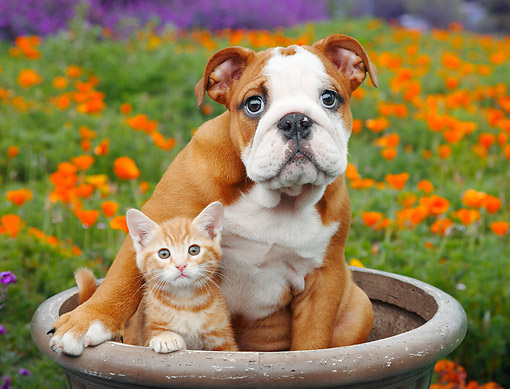 DOK 01 BK0155 01 © Kimball Stock English Bulldog Puppy And Orange Kitten Sitting In Flower Pot By Poppies