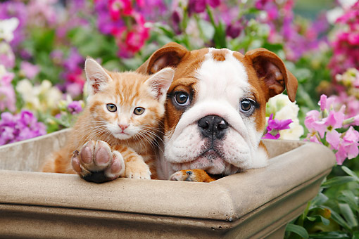 DOK 01 BK0157 01 © Kimball Stock English Bulldog Puppy And Orange Kitten Sitting In Flower Pot In Garden