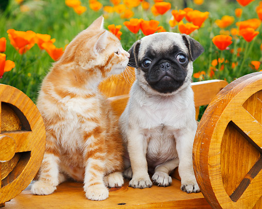 DOK 01 BK0167 01 © Kimball Stock Orange Kitten And Pug Puppy Sitting On Wooden Wheelbarrow In Garden