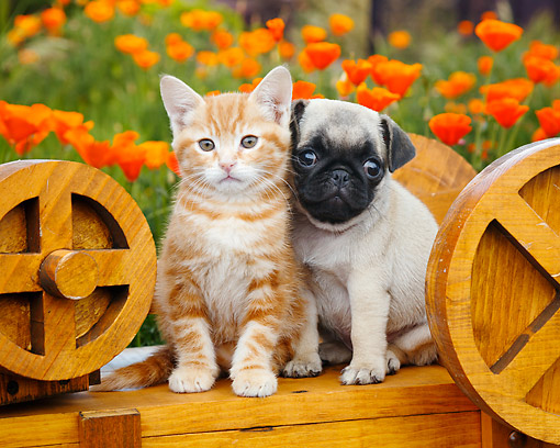 DOK 01 BK0168 01 © Kimball Stock Orange Kitten And Pug Puppy Sitting On Wooden Wheelbarrow In Garden