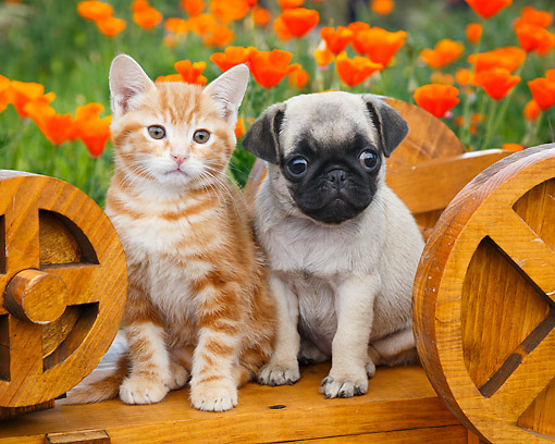DOK 01 BK0169 01 © Kimball Stock Orange Kitten And Pug Puppy Sitting On Wooden Wheelbarrow In Garden