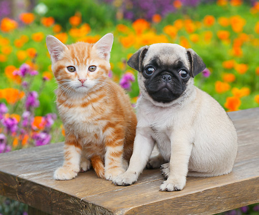 DOK 01 BK0173 01 © Kimball Stock Orange Kitten And Pug Puppy Sitting On Bench By Poppies
