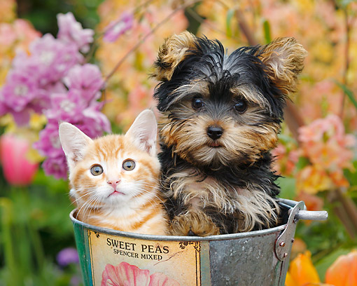 DOK 01 BK0176 01 © Kimball Stock Orange Kitten And Yorkshire Terrier Puppy Sitting In Bucket In Garden