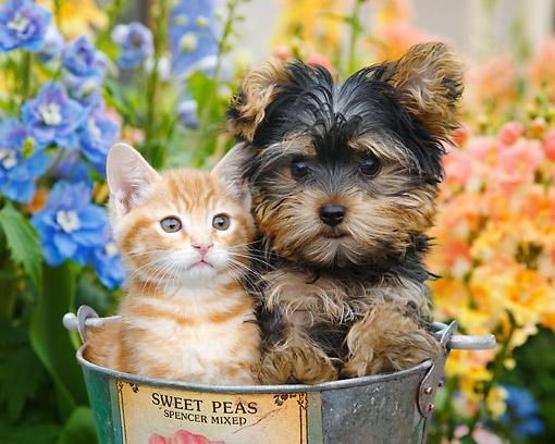 DOK 01 BK0177 01 © Kimball Stock Orange Kitten And Yorkshire Terrier Puppy Sitting In Bucket In Garden