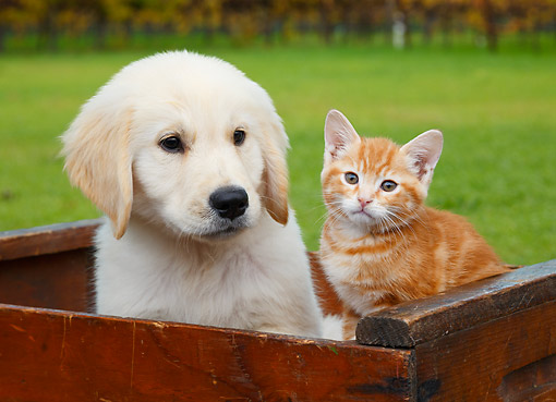 DOK 01 BK0178 01 © Kimball Stock Yellow Labrador Retriever Puppy And Orange Kitten Sitting In Wooden Crate On Grass