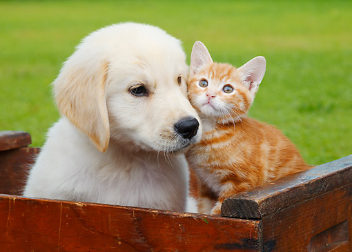 DOK 01 BK0179 01 © Kimball Stock Yellow Labrador Retriever Puppy And Orange Kitten Sitting In Wooden Crate On Grass