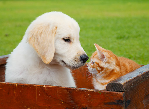DOK 01 BK0180 01 © Kimball Stock Yellow Labrador Retriever Puppy And Orange Kitten Sitting In Wooden Crate On Grass