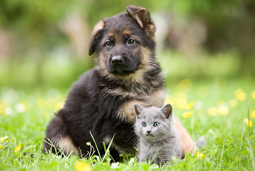 German Shepherd Puppy And Chartreux Kitten Sitting On Grass