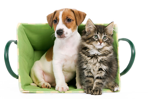 DOK 01 JE0005 01 © Kimball Stock Jack Russell Terrier Puppy And Norwegian Forest Cat Kitten Sitting In Green Basket On White Seamless