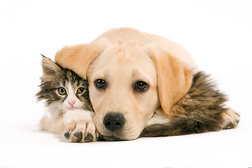 DOK 01 JE0009 01 © Kimball Stock Yellow Labrador Retriever Puppy And Norwegian Forest Cat Kitten Cuddling On White Seamless