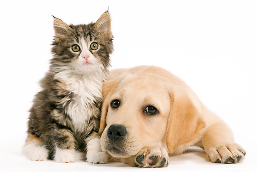 DOK 01 JE0010 01 © Kimball Stock Yellow Labrador Retriever Puppy And Norwegian Forest Cat Kitten On White Seamless