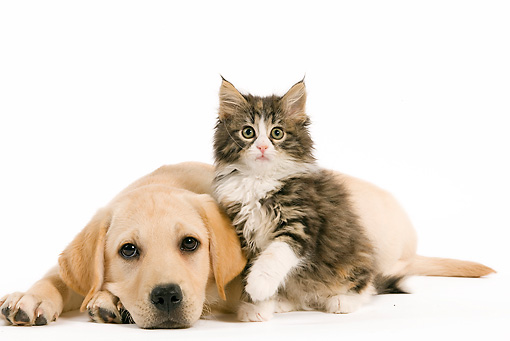 DOK 01 JE0011 01 © Kimball Stock Yellow Labrador Retriever Puppy And Norwegian Forest Cat Kitten On White Seamless