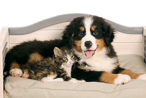 DOK 01 JE0012 01 © Kimball Stock Bernese Mountain Dog Puppy And Norwegian Forest Cat Kitten Laying On Dog Bed On White Seamless