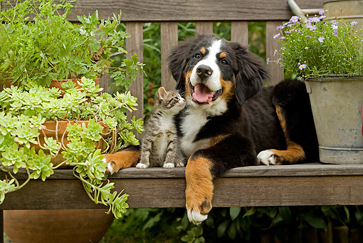 DOK 01 JE0014 01 © Kimball Stock Bernese Mountain Dog Puppy And Tabby Kitten On Bench With Planter Box And Bucket With Purple Daisies