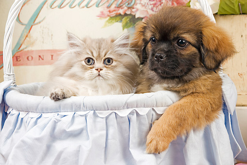 DOK 01 JE0015 01 © Kimball Stock Shaded Golden Persian Kitten Sitting In Blue Wicker Basket With Tibetan Spaniel Puppy