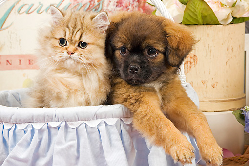 DOK 01 JE0016 01 © Kimball Stock Shaded Golden Persian Kitten Sitting In Blue Wicker Basket With Tibetan Spaniel Puppy
