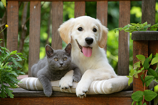 DOK 01 JE0018 01 © Kimball Stock Golden Retriever Puppy And Chartreux Kitten Laying On Bench