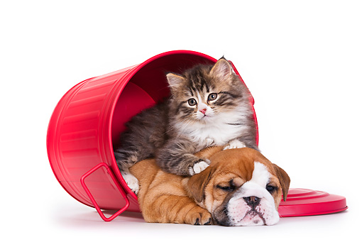 DOK 01 KH0005 01 © Kimball Stock Tabby Kitten And English Bulldog Puppy In Red Trash Can On White Seamless