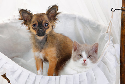 DOK 01 PE0001 01 © Kimball Stock Chihuahua Puppy And British Longhair Kitten Sitting In Basket On White Seamless
