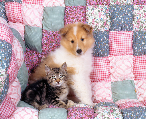 DOK 01 RK0016 01 © Kimball Stock Collie And Tabby Kitten Sitting Together On Quilted Couch