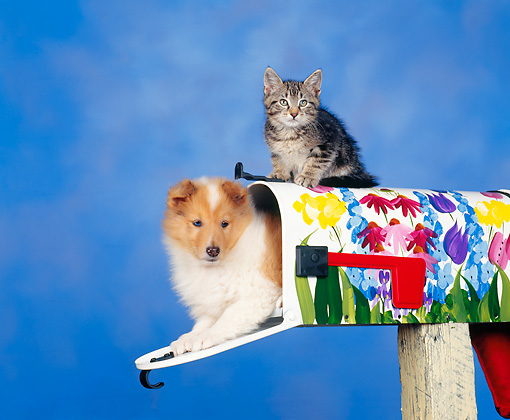 DOK 01 RK0022 03 © Kimball Stock Collie In Mail Box And Kitten Sitting On Top Facing Camera Blue Background
