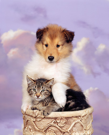 DOK 01 RK0026 01 © Kimball Stock Collie Puppy And Tabby Kitten Sitting Together Purple Clouds