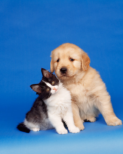 DOK 01 RK0034 18 © Kimball Stock Golden Retriever Puppy And Black And White Kitten Blue Seamless Studio