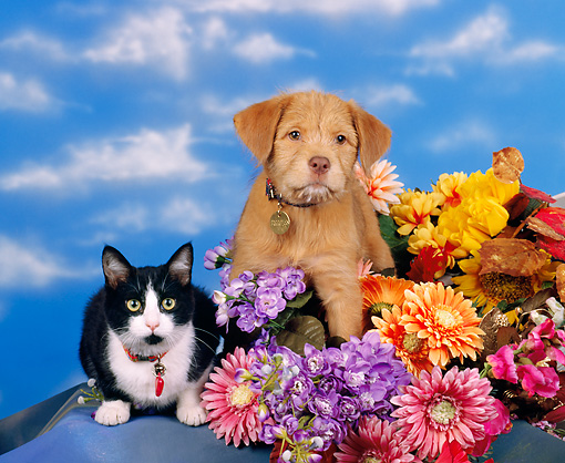 DOK 01 RK0054 01 © Kimball Stock Brown Puppy & Black & White Cat Sitting By Flowers Facing Camera Blue Clouds