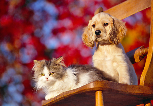 DOK 01 RK0113 04 © Kimball Stock Cocker Spaniel Puppy And Kitten Sitting On Chair