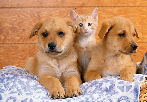 DOK 01 RK0136 12 © Kimball Stock Mixed Breed Puppies And Kitten Sitting In Blue Rug In Basket