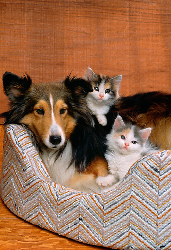 DOK 01 RK0144 08 © Kimball Stock Collie Puppy And Two Kittens Laying In Bed Studio