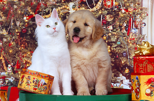 DOK 01 RK0232 06 © Kimball Stock Golden Retriever Puppy And White Maine Coon Cat Sitting Together By Christmas Decorations