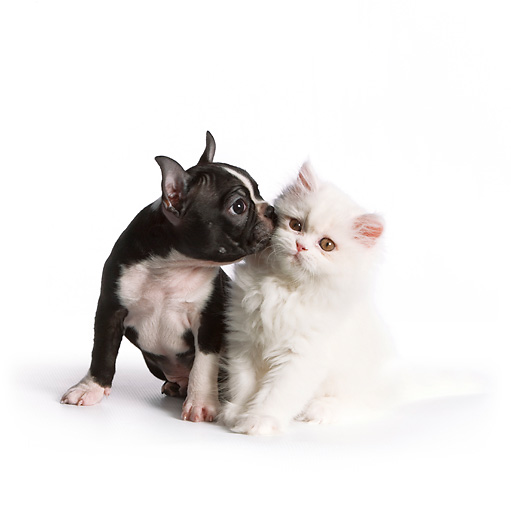 DOK 01 RK0536 01 © Kimball Stock Boston Terrier Puppy Kissing White Persian Kitten On White Seamless
