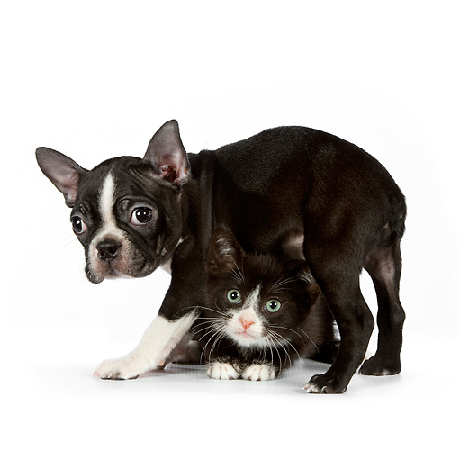 DOK 01 RK0541 01 © Kimball Stock Boston Terrier Puppy Standing Over Black And White Kitten On White Seamless