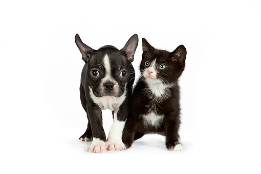 DOK 01 RK0543 01 © Kimball Stock Boston Terrier Puppy And Black And White Kitten Standing On White Seamless