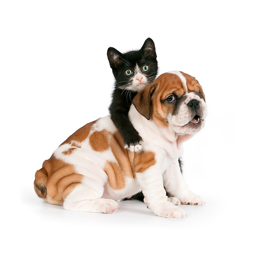 DOK 01 RK0556 01 © Kimball Stock English Bulldog Puppy And Black And White Kitten On White Seamless