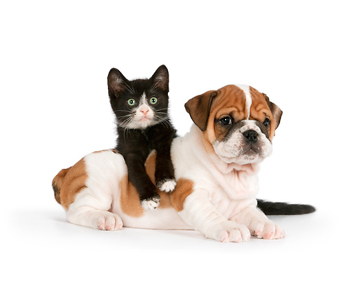DOK 01 RK0558 01 © Kimball Stock English Bulldog Puppy And Black And White Kitten Laying On White Seamless