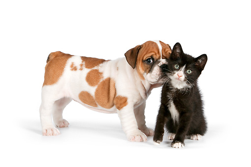 DOK 01 RK0560 01 © Kimball Stock English Bulldog Puppy Kissing Black And White Kitten On White Seamless