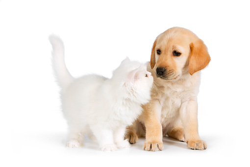 DOK 01 RK0565 01 © Kimball Stock Yellow Labrador Retriever Puppy And White Persian Kitten On White Seamless