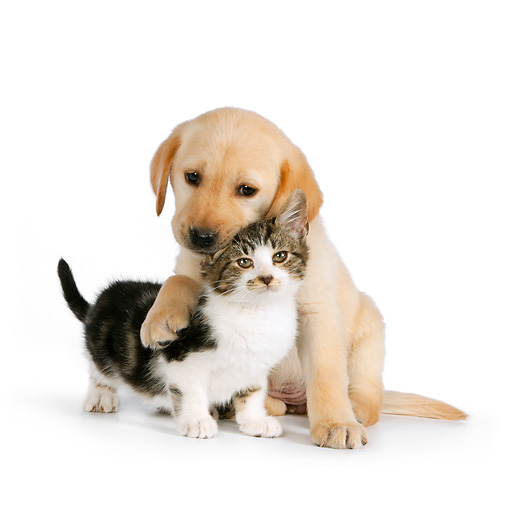 DOK 01 RK0575 01 © Kimball Stock Yellow Labrador Retriever Puppy Hugging Tabby Kitten On White Seamless