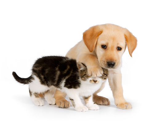 DOK 01 RK0577 01 © Kimball Stock Yellow Labrador Retriever Puppy With Paw On Tabby Kitten's Head On White Seamless