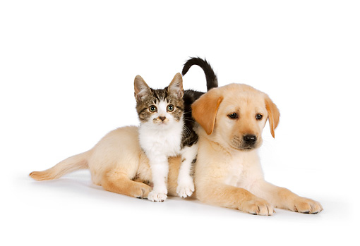 DOK 01 RK0580 01 © Kimball Stock Tabby Kitten Laying On Yellow Labrador Retriever Puppy On White Seamless