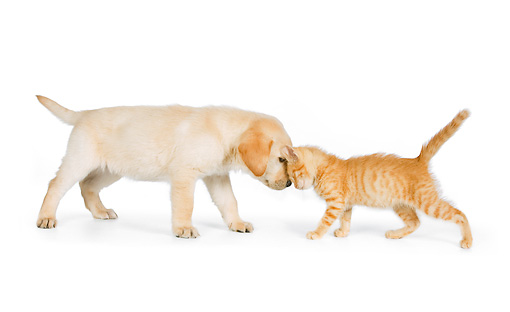 DOK 01 RK0582 01 © Kimball Stock Yellow Labrador Retriever Puppy And Orange Tabby Kitten Nuzzling On White Seamless