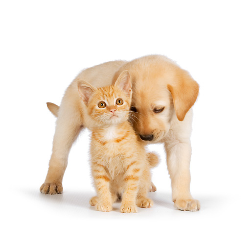DOK 01 RK0583 01 © Kimball Stock Yellow Labrador Retriever Puppy Nuzzling Orange Tabby Kitten On White Seamless