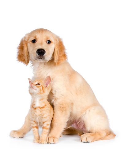 DOK 01 RK0588 01 © Kimball Stock Orange Tabby Kitten And Golden Retriever Puppy Sitting On White Seamless