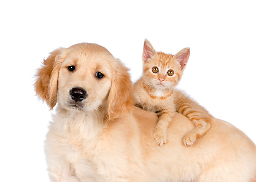 DOK 01 RK0591 01 © Kimball Stock Orange Tabby Kitten Laying On Golden Retriever Puppy On White Seamless