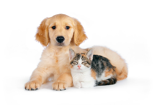 DOK 01 RK0597 01 © Kimball Stock Calico Tabby Kitten And Golden Retriever Puppy Laying On White Seamless