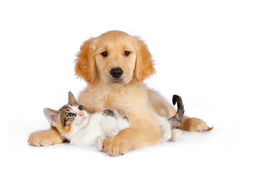 DOK 01 RK0598 01 © Kimball Stock Calico Tabby Kitten And Golden Retriever Puppy Hugging On White Seamless