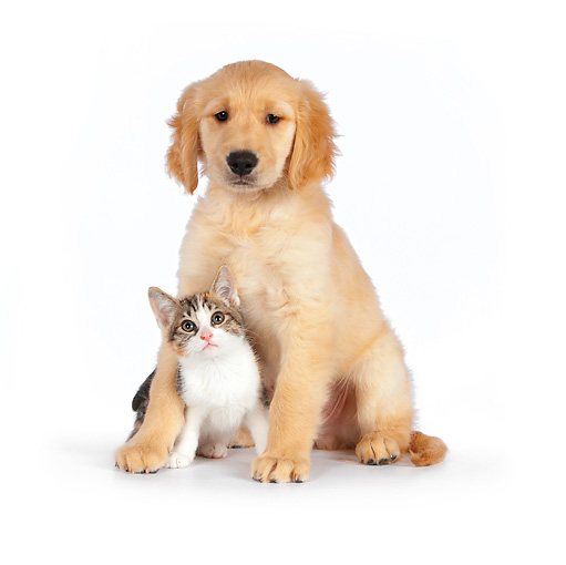 DOK 01 RK0599 01 © Kimball Stock Calico Tabby Kitten And Golden Retriever Puppy Hugging On White Seamless